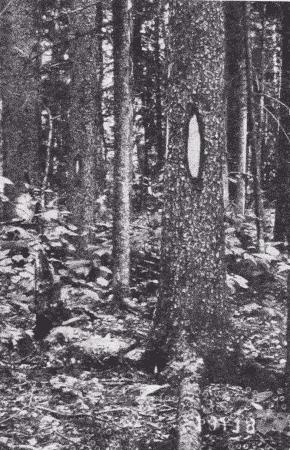 Fig. 2. 'Blazes' on Trees.