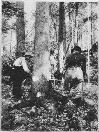 Fig. 5. Felling Red Spruce with a Saw.