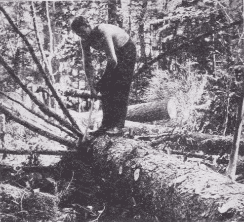 Fig. 7. Trimming off Branches of Spruce.
