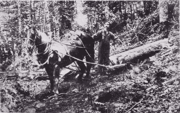 Fig. 8. Hauling Spruce Logs to the Skidway.
