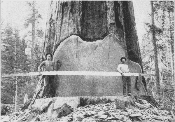 Fig. 25. A Twenty-Five Foot Saw used for Crosscutting Big Logs.