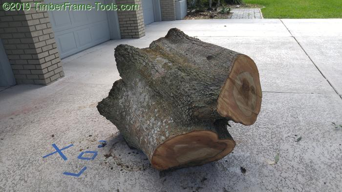 Oak double stump for woodworking.