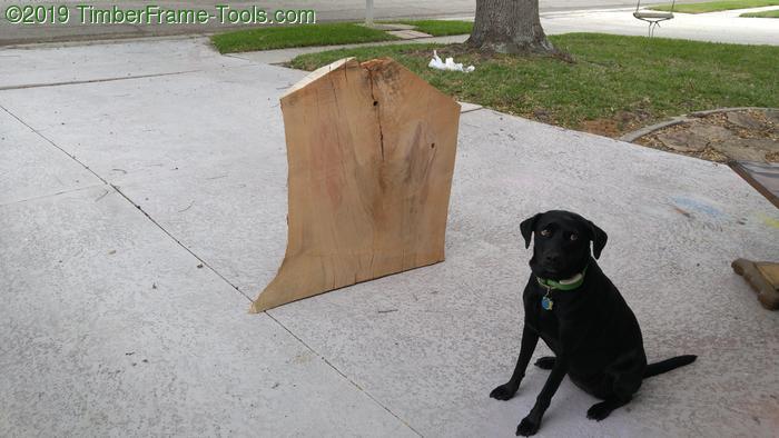 Shop dog inspecting wood.